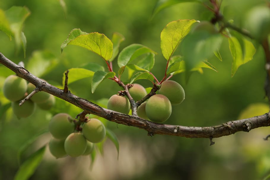 Ume, the fruit from which Umeshu is made