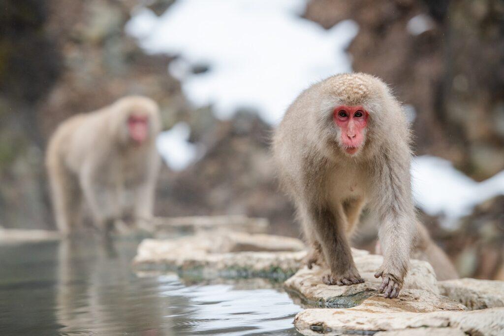 The Famous Snow Monkeys
